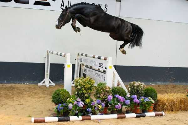 SLF Horse Auction - 2021- Young Horses I, 2 & 3yrd old free jumping, 4 & 5 yrs old ridden youngsters, 24-26 April