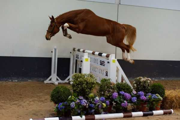 SLF Horse Auction - 2021- Young Horses II, 2 & 3yrd old free jumping, 4 & 5 yrs old ridden youngsters, 24-27 April